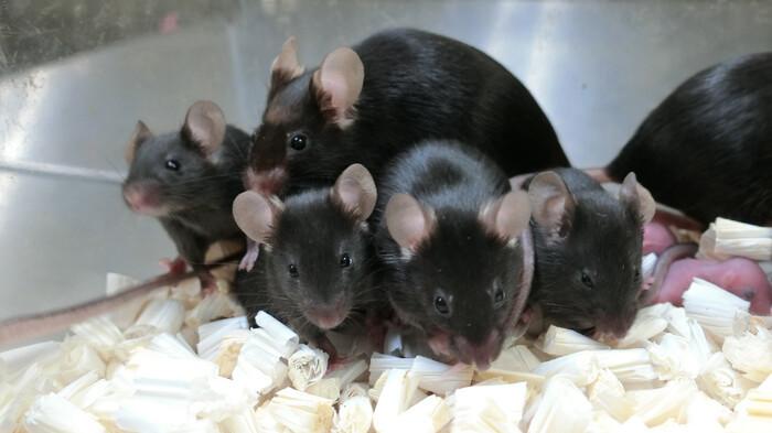 chuột sinh sản trong không gian