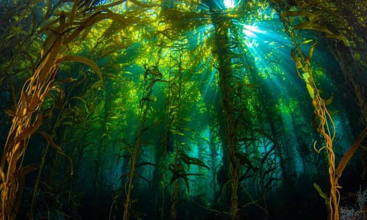rừng tảo bẹ