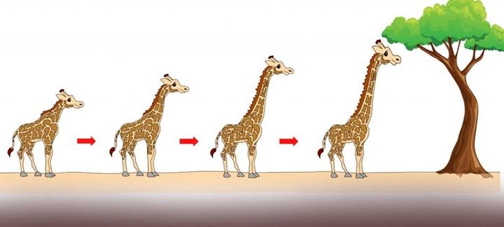 Tại sao hươu cao cổ có cổ dài