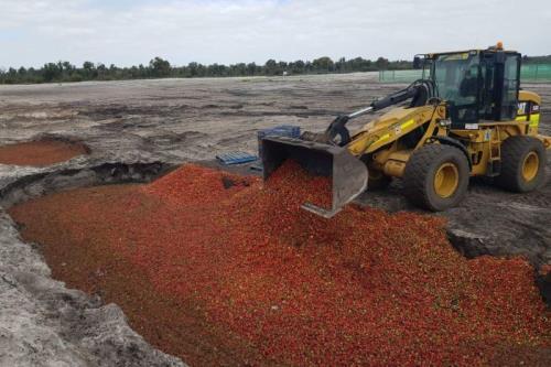 Hàng tấn dâu tươi phải tiêu hủy ở bang Tây Australia sau khi phát hiện kim khâu. Nguồn: ABC News
