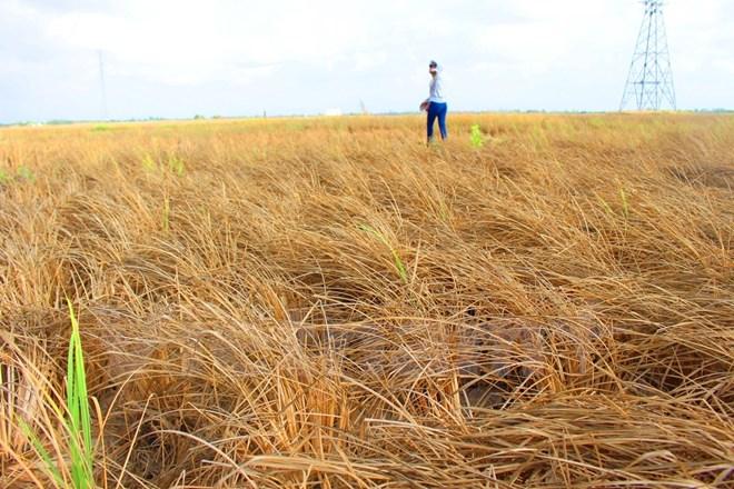 cánh đồng lúa