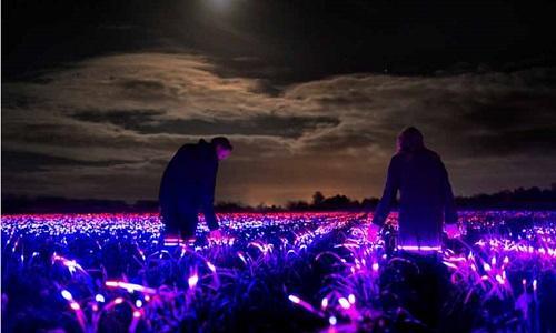 Dự án ′Grow′ với cánh đồng phát sáng vào ban đêm tại Hà Lan